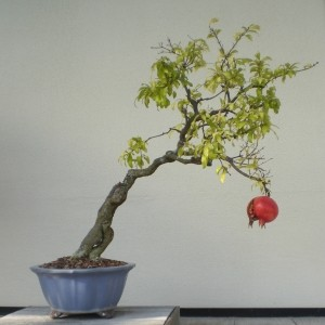 bonsai-pomegranate-tree-1252890-m