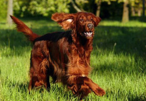 Irish-Setter-Photo-irish-setters-3946793-450-313