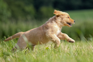 golden-retriever-11
